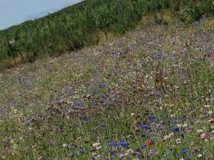 Jachère de fleurs : indispensable pour la survie de nos voisins les bêtes