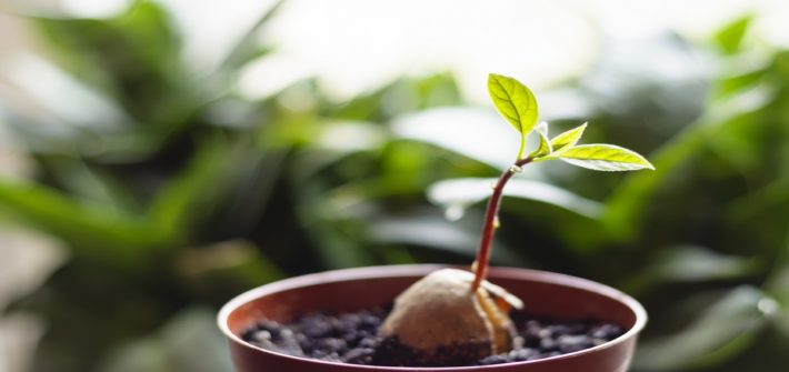 A young fresh avocado sprout with leaves grows from a seed in a pot. Selective focus.